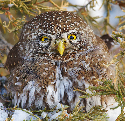 Northern Pygmy-Owl in Juniper