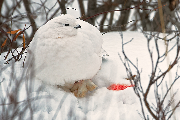 Wounded Willow Ptarmigan