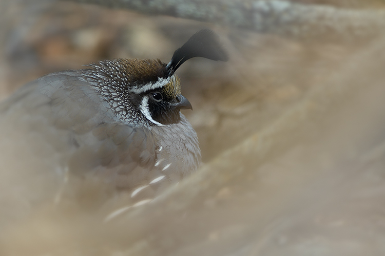 California Quail Hiding in Thicket