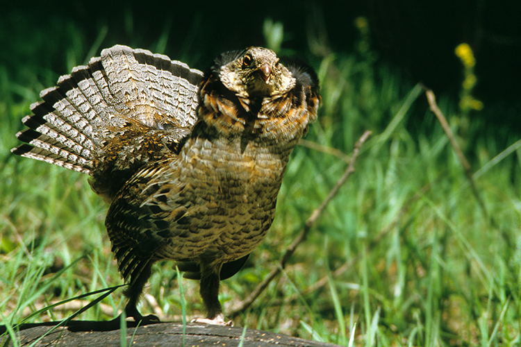 Ruffed Grouse Courting