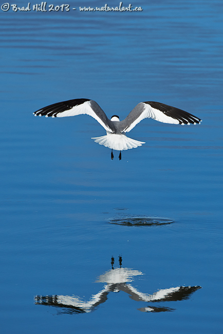 Sabine's Gull - Time & Space