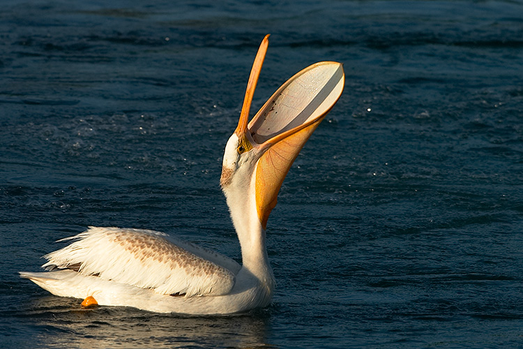 Pelican with Mouth Agape