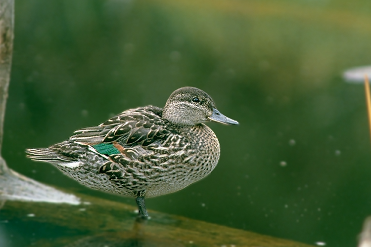 Green-winged, Green Water