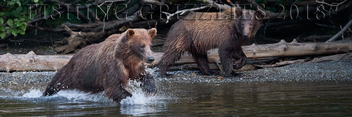 The Fishing Grizzlies of the Taku