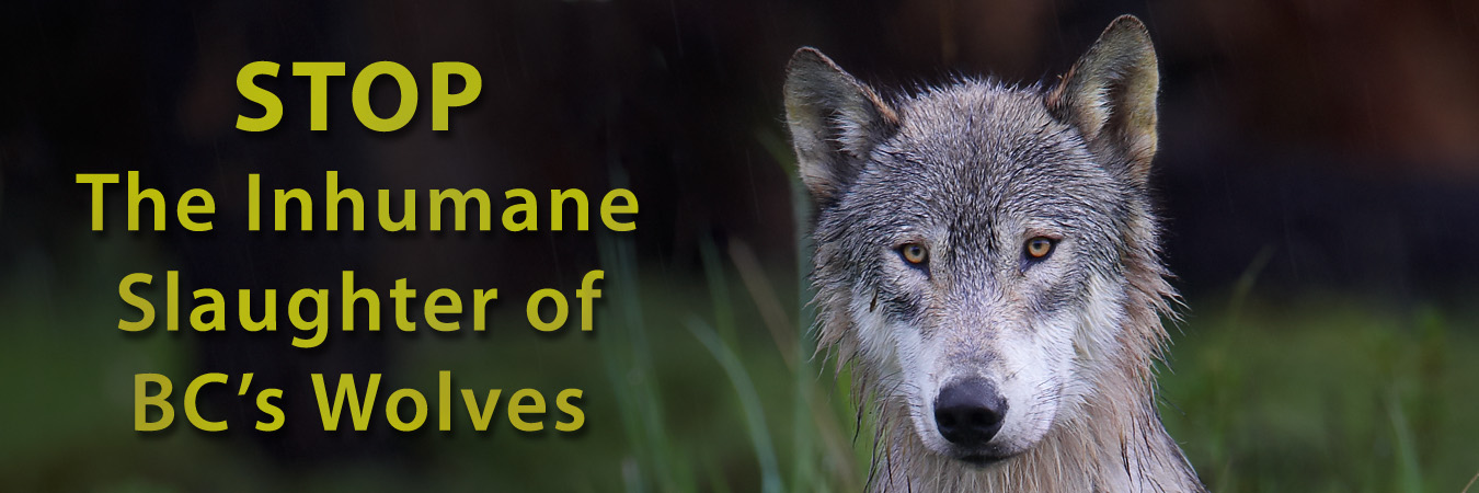 STOP The Inhumane Slaughter of BC's Wolves!