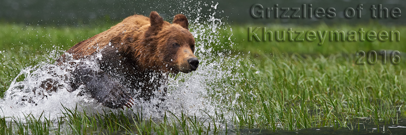 Grizzlies of the Khutzeymateen