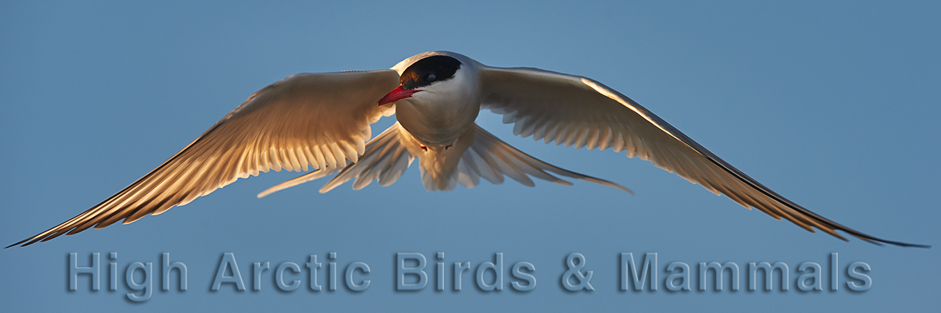 High Arctic Birds & Mammals