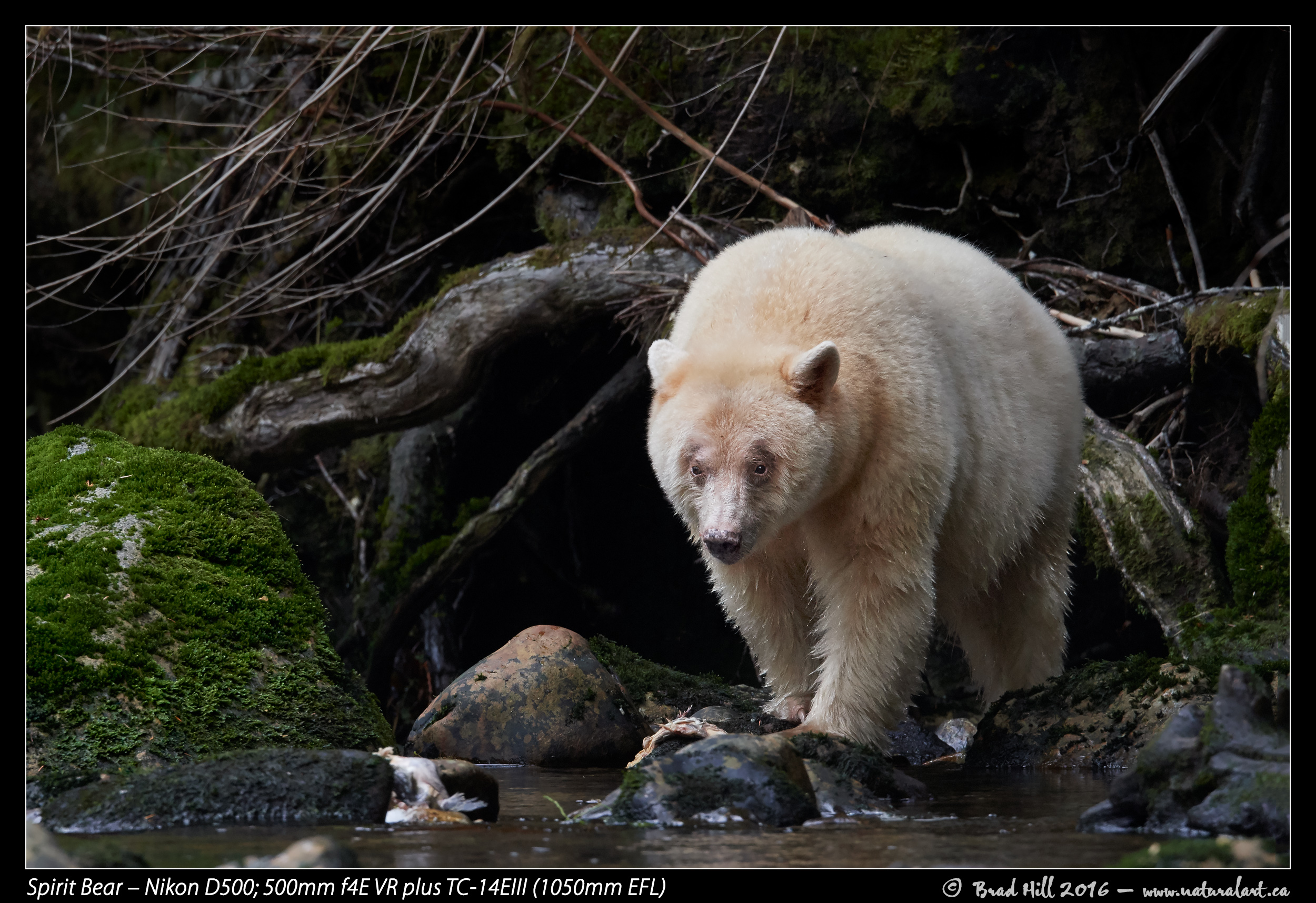 Spirit Bear With D500 1050mm EFL Download 2400 Pixel Image