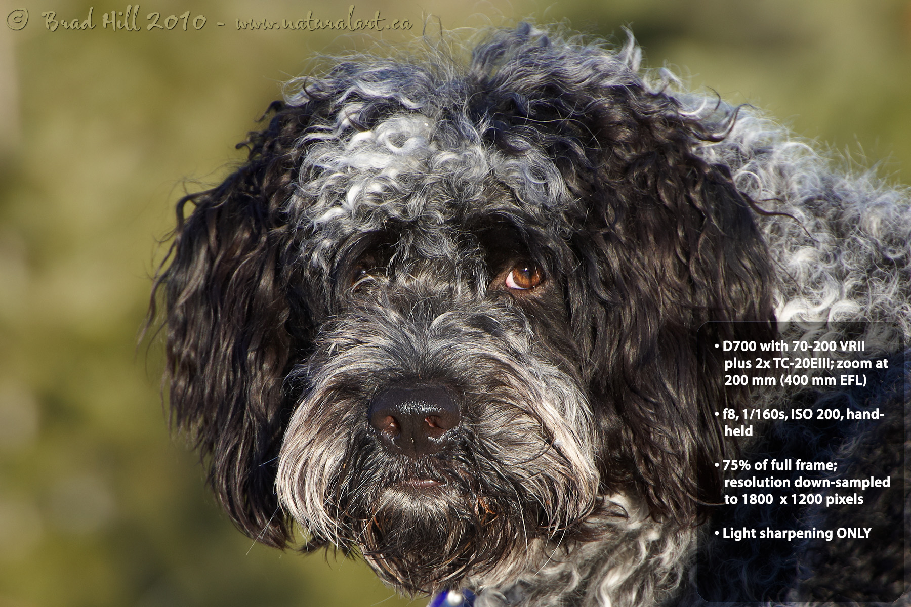 Light brown portuguese water dog - photo#22