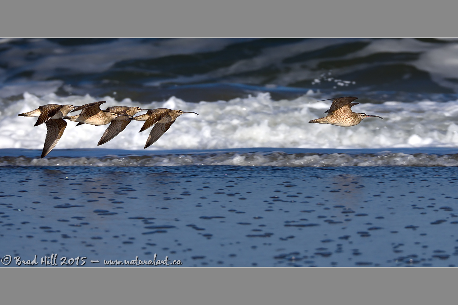 The Breakaway...Whimbrel Style