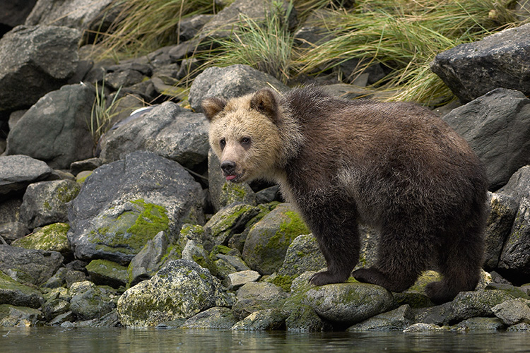 Grizzly Cub Along Estuary Edge