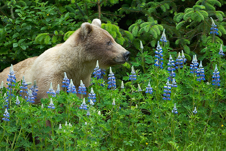 Blonde Grizzly in Blue-pod Lupine