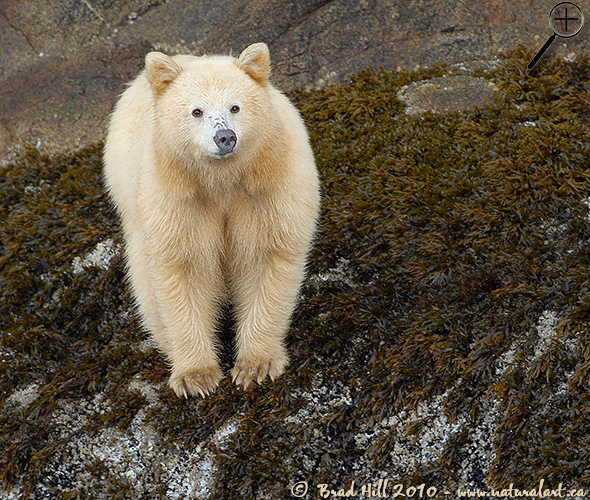Spirit Bear in Intertidal Zone