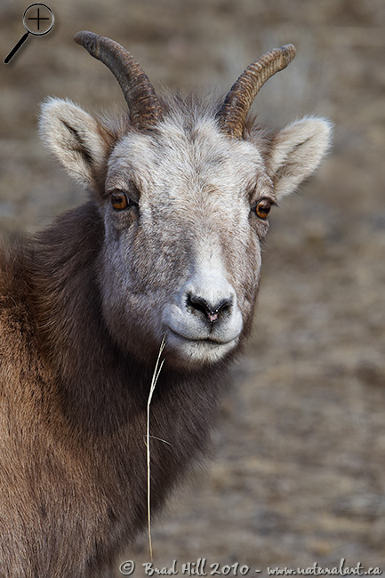 Inquisitive Bighorn Ewe