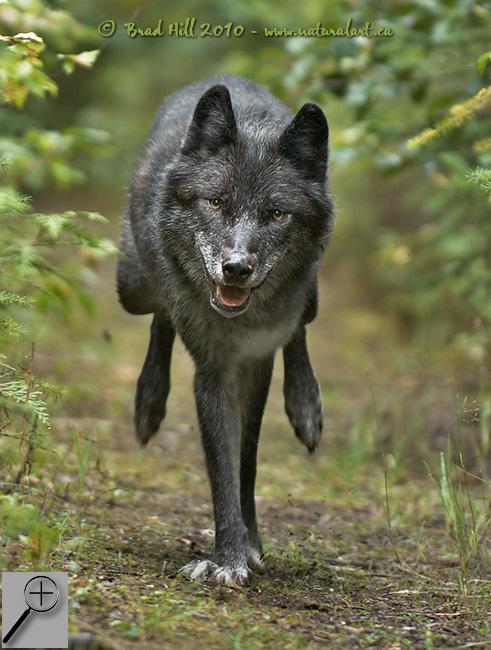 Lycanthropy – Shape-shifters – Werewolves