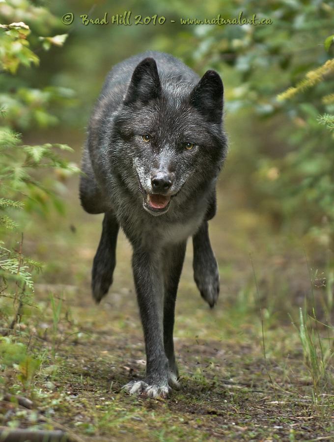 natural art images image galleries mammals wolves amp kin
