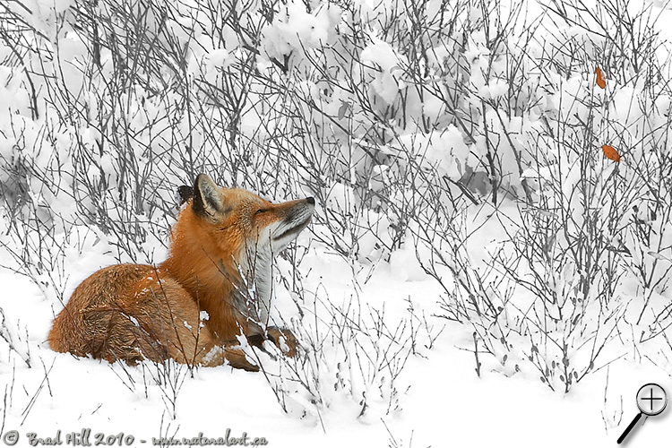 Red Fox - Contemplation