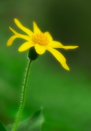 Heart-leaved Arnica in Forest Shade