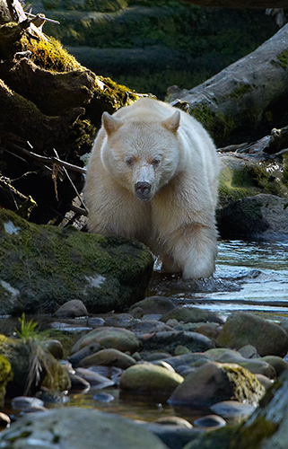 Spirit Bear Fishing in Stream