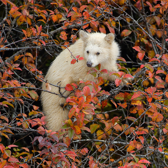 Kermode Cub in Fall Foliage
