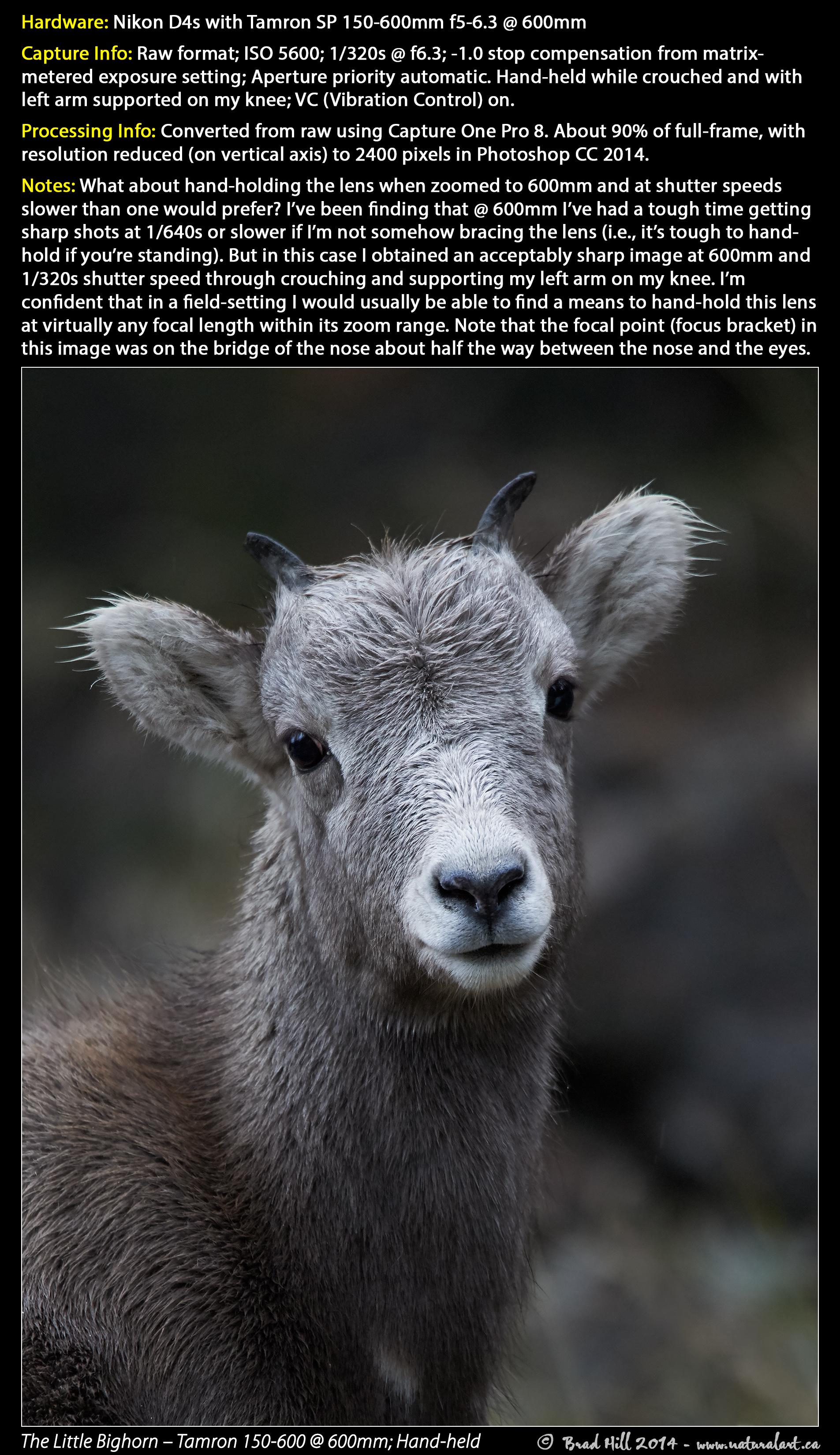 Natural Art Images Voice Brad Hill Blog 2015 Big Horn Satellite Wiring Diagram Bighorn Lamb Tamron 150 600 460mm 1 320s Download 2400 Pixel Image Jpeg 20 Mb The Little 600mm